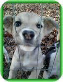 Feist/Terrier (Unknown Type, Medium) Mix Puppy for Sale in Hagerstown, Maryland - Heather