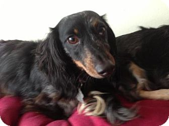 Dachshund Dog for Sale in Atascadero, California - Miss Murphy