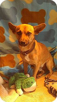 Chihuahua Mix Dog for adption in phoenix, Arizona - Brent