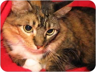 Maine Coon Cat for adoption in Germantown, Maryland - MAYBELLE/Adopted!!