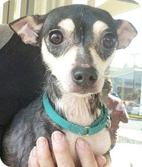 Chihuahua Mix Dog for adption in Long Beach, California - Muffin