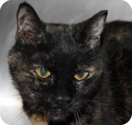 Domestic Shorthair Cat for adoption in Chicago, Illinois - NEFERTITI