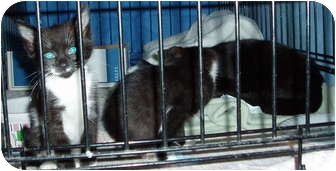Domestic Shorthair Kitten for Sale in Westfield, Massachusetts - Smokey and kitens
