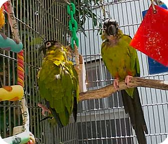 Conure for adoption in Fountain Valley, California - Tito and Zipper