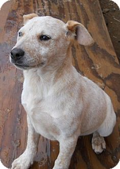 Australian Cattle Dog Mix Puppy for Sale in dewey, Arizona - Rosie