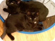 Domestic Mediumhair Cat for Sale in Medina, Ohio - Ollie