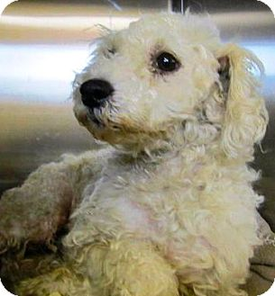 Poodle (Miniature)/Maltese Mix Dog for Sale in Thousand Oaks, California - Bruce