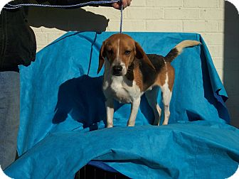 Beagle Mix Dog for Sale in Germantown, Maryland - Billy