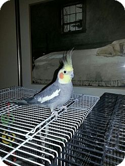 Cockatiel for adoption in St. Louis, Missouri - Arora and Yoshi
