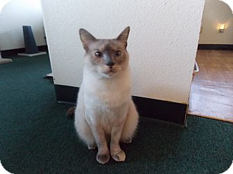 Siamese Cat for adoption in Fountain Hills, Arizona - VIOLET
