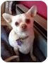 Adopt A Pet :: Poncho AKA Fat Chihuahua - San Francisco, CA