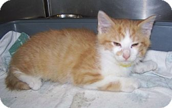 Domestic Mediumhair Kitten for Sale in Dover, Ohio - Roger