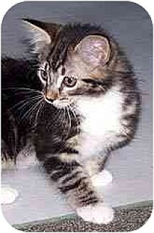 Domestic Mediumhair Cat for adoption in Clovis, New Mexico - April