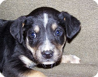 Australian Cattle Dog/Border Collie Mix Puppy for Sale in Niagra Falls, New York - Rudy $75.00 Off Adoption