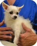 Maltese/Chihuahua Mix Dog for adption in Mahopac, New York - Jimmy