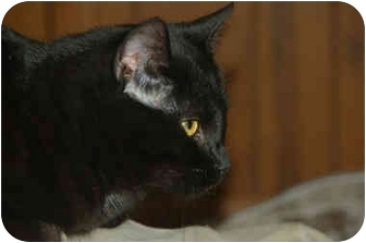 Polydactyl/Hemingway Cat for adoption in Grafton, West Virginia - Mick
