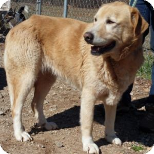 Labrador Retriever/Great Pyrenees Mix Dog for Sale in Athens, Georgia - Shiloh