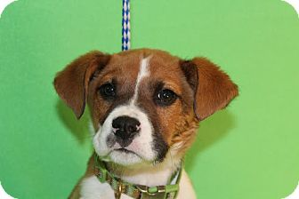 Boxer Mix Puppy for Sale in Broomfield, Colorado - Curly