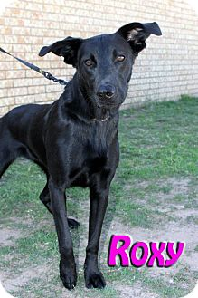 Labrador Retriever Mix Dog for Sale in Midland, Texas - Roxy
