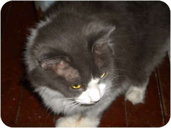 Domestic Mediumhair Cat for adoption in Cleveland, Ohio - Decker