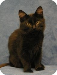 Domestic Mediumhair Cat for Sale in Sacramento, California - Jake