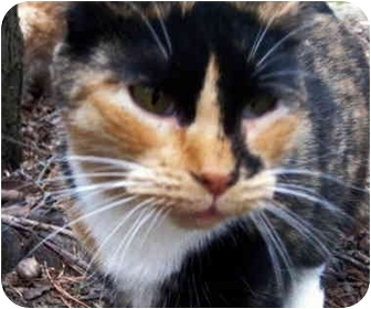 Calico Cat for adoption in Pittsboro, North Carolina - Dixie