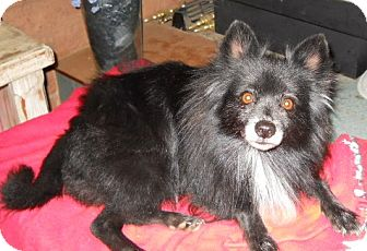 Pomeranian Dog for Sale in dewey, Arizona - Heidi