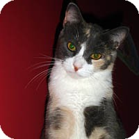 Domestic Shorthair Cat for adoption in Round Rock, Texas - Princess &quot;P&quot;