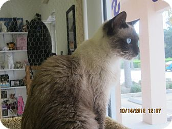 Siamese Cat for Sale in Bunnell, Florida - Mocha