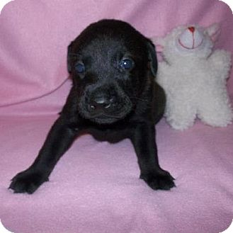 Labrador Retriever Mix Puppy for Sale in Shirley, New York - Ebony