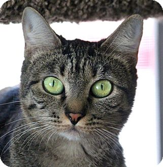 Domestic Shorthair Cat for adoption in Gilbert, Arizona - Jezzabelle