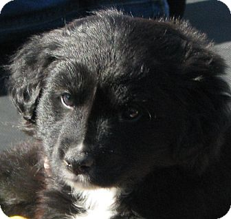 Border Collie Mix Puppy for Sale in Somers, Connecticut - Star - I am super sweet!