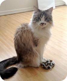 RagaMuffin Cat for Sale in Mesa, Arizona - Munchkin