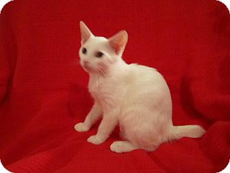 Manx Kitten for Sale in Richmond, Virginia - Drew