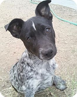 Australian Cattle Dog/Rat Terrier Mix Puppy for Sale in Scottsdale, Arizona - Linus - Adoption Pending