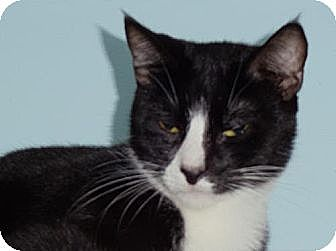 Domestic Shorthair Cat for adoption in Palm City, Florida - Houdini