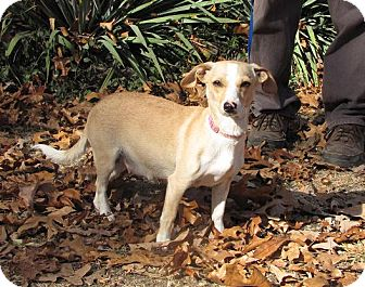 Chihuahua/Dachshund Mix Dog for Sale in Oakland, Arkansas - Fawn
