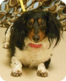 Dachshund Mix Dog for Sale in Gary, Indiana - Dino