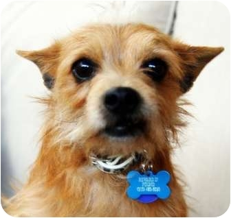Cairn Terrier/Terrier (Unknown Type, Small) Mix Dog for adption in Van Nuys, California - *URGENT* HARRY