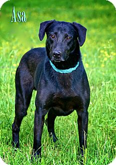 Labrador Retriever Mix Dog for adption in Wilmington, Delaware - Asa