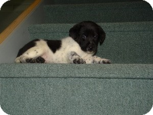 Shepherd (Unknown Type)/Border Collie Mix Puppy for Sale in Marlton, New Jersey - Queen Herra's Boys