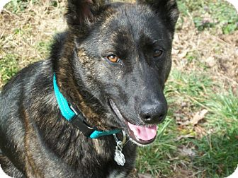 Dutch Shepherd Mix Dog for Sale in Nashville, Tennessee - Pax