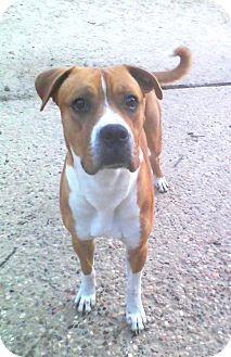 Boxer Mix Dog for adption in Porter, Texas - Brownie