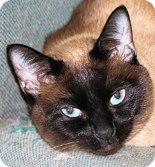 Siamese Cat for Sale in Morganton, North Carolina - Mei Linh
