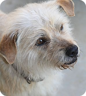 Cairn Terrier Mix Dog for Sale in Wytheville, Virginia - Fraggle Rock
