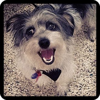 Yorkie, Yorkshire Terrier/Schnauzer (Standard) Mix Dog for adption in Thousand Oaks, California - Ruby