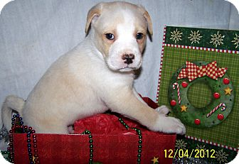 Labrador Retriever/Boxer Mix Puppy for Sale in Niagra Falls, New York - Mason