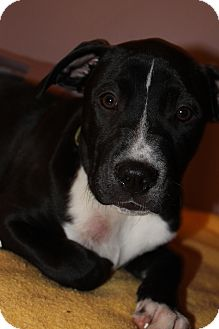 American Pit Bull Terrier/American Bulldog Mix Puppy for Sale in Glastonbury, Connecticut - Ali~meet me~