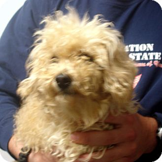 Toy Poodle Dog for Sale in hagerstown, Maryland - cocomo
