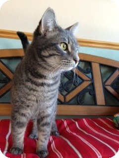 Domestic Shorthair Cat for Sale in Chippewa Falls, Wisconsin - Maxwell